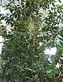 Tree jambu.jpg