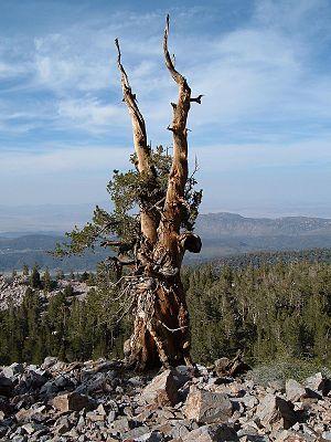 Sugarloaf Mountain (San Bernardino County, California) - Image: Tree near summit