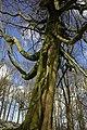 Tree on Bredon Hill - geograph.org.uk - 759242.jpg