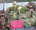 Tricholoma sulphureum - Pilzausstellung Rostock 2015.jpg