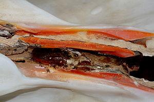 Ligament (bivalve) - Interior view of the hinge ligament of Tridacna derasa