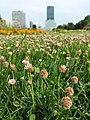 Trifolium fragiferum (subsp. fragiferum) sl19.jpg