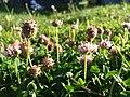 Trifolium fragiferum (subsp. fragiferum) sl41.jpg