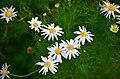 Tripleurospermum inodorum (8236698861).jpg