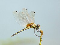 Trithemis pallidinervis female by kadavoor.JPG