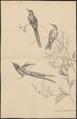 Trochilus cyanurus - 1700-1880 - Print - Iconographia Zoologica - Special Collections University of Amsterdam - UBA01 IZ19100385.tif