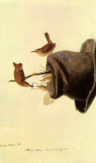 House wren - Audubon's illustration of nesting house wren
