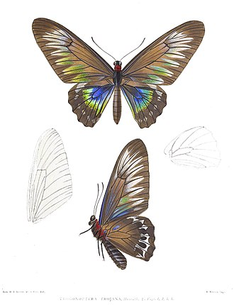 Trogonoptera trojana - Image: Trogonoptera Trojana 2Rippon