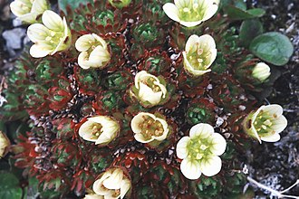 Saxifraga cespitosa - Image: Tuftedsaxifrage 3