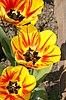 Tulipe serie 06.jpg