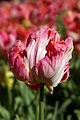 Tulips 2 (7142812609).jpg