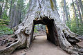 Tunnel Tree (8145372873).jpg