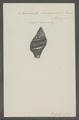 Turbinella leucozonalis - - Print - Iconographia Zoologica - Special Collections University of Amsterdam - UBAINV0274 084 04 0021.tif
