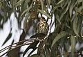 Turdus philomelos - Song Thrush 02.jpg