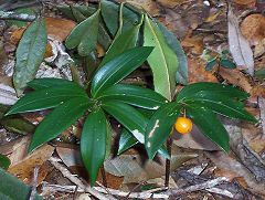 Understorey plant at Mount Banda Banda.jpg
