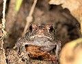 Unknown frog (14526602245).jpg