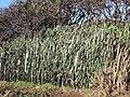 Unusual hedge-bank - geograph.org.uk - 331055.jpg