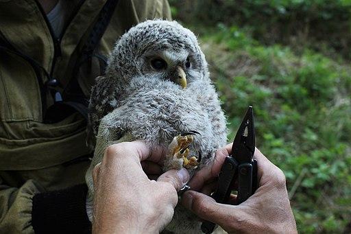 Ural owl (Strix uralensis) ringing