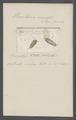 Urceolaria viridis - - Print - Iconographia Zoologica - Special Collections University of Amsterdam - UBAINV0274 113 21 0030.tif