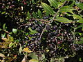 Vaccinium consanguineum frutos maduros.JPG