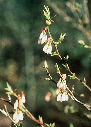 Vaccinium elliottii - Plant in flower