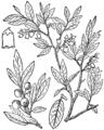Vaccinium myrtilloides BB-1913.png