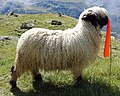 Valais Blacknose sheep.jpg