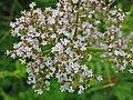 Valerianaceae - Valeriana officinalis (8303611021).jpg