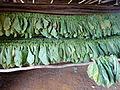 Vallée de Viñales-Séchage du tabac (7).jpg