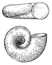 Valvata cristata drawing.jpg