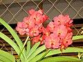 Vanda cultivars 02628.JPG