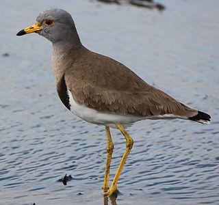 Grey-headed lapwing Species of bird