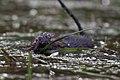 Vattensork (Arvicola amphibius) - Northern water vole – Water rat - Flickr - Ragnhild & Neil Crawford (2).jpg