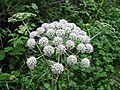 Velika trobelika (Cicuta virosa) (2804123968).jpg