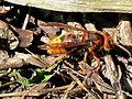 Vespa crabro (European hornet), Elst (Gld), the Netherlands.jpg