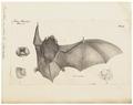 Vespertilio papillosa - 1700-1880 - Print - Iconographia Zoologica - Special Collections University of Amsterdam - UBA01 IZ20800199.tif