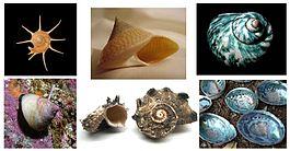Раковины разных видов брюхоногих моллюсков