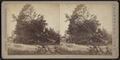 View of a large downed tree, by Camp, D. S. (Daniel S.) 3.png
