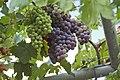 Vine, Georgioupoli, Chania, Crete, Greece - panoramio.jpg