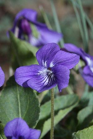 Viola adunca - Image: Viola adunca 5819