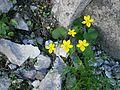 Viola biflora RHu 01.JPG