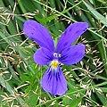 Viola guestphalica 03.jpg