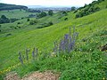 Viper's bugloss and rockrose on steep Cotswold grassland - geograph.org.uk - 854100.jpg
