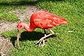 Vogelpark Walsrode - Freiflughalle - Eudocimus ruber 02 ies.jpg
