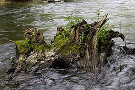 Würm - Baumstumpf im Flusslauf 001.jpg