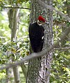 WE Pileated Woodpecker (5534662142).jpg