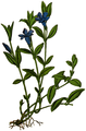 WWB-0021-005-Vinca minor-crop.png
