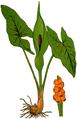 WWB-0041-015-Arum maculatum-crop.png