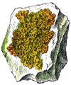 WWB-0262-126-Physcia parietina-crop.png