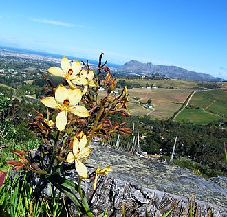 Fynbos - The regrowth of fynbos species, from around the trunk of a fallen invasive pine tree. Cape Town.